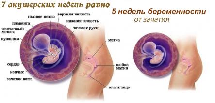 беременность по неделям фото и секс